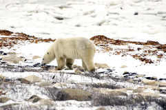Polar Bear walking Stock Images