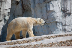 Polar Bear Walking. A photo of a polar bear (Ursus maritimus) who just got out of the water and is still dripping Stock Image