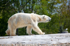 Polar Bear Walking. A photo of a polar bear (Ursus maritimus) who just got out of the water and is still dripping Royalty Free Stock Photo