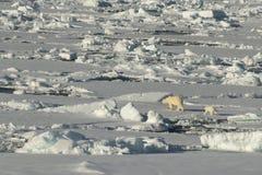 Polar bear walking in an arctic. stock images