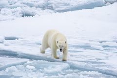 Polar bear walking in an arctic. Polar bear walking in an arctic landscape sniffing around stock images