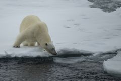 Polar bear walking in an arctic. royalty free stock photos