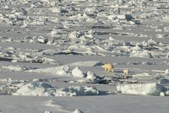 Polar bear walking in an arctic. stock photo