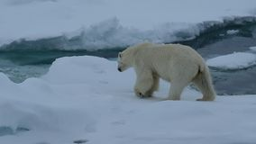 Polar bear walking in an arctic.