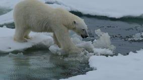 Polar bear walking in an arctic. stock footage