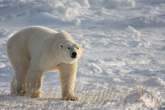 Polar Bear Walking on the Arctic Snow Stock Photos