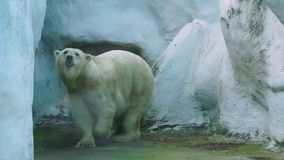 Polar bear walking around, zoo animal behavior, the walk of white polar bear, Vulnerable animal specie from the arctic coast. A polar bear walking around, zoo stock video footage