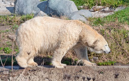 Polar bear walking Royalty Free Stock Photos