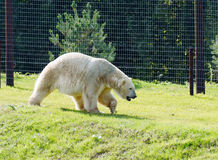 Polar bear walking Royalty Free Stock Images