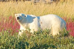 Polar Bear walking in the fire weed Royalty Free Stock Images