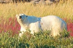 Polar Bear walking in fireweed Stock Photo