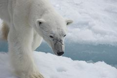 Polar bear walking on the ice. Polar bear walking on the ice in arctic landscape sniffing around Stock Photography