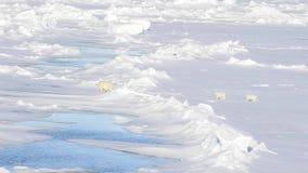 Polar bear walking on the ice. stock footage