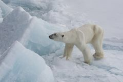 Polar bear walking on the ice. Polar bear walking on the ice in arctic landscape sniffing around Stock Images