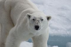 Polar bear walking on the ice. Polar bear walking on the ice in arctic landscape sniffing around Stock Photos