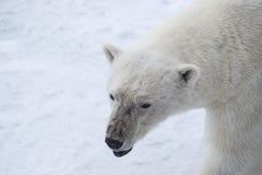 Polar bear walking on the ice. Polar bear walking on the ice in arctic landscape sniffing around Stock Image
