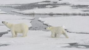 Polar bear walking on the ice in Arctic