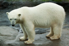 Polar bear walking on rock. A big polar bear walking around on a large rock formation Royalty Free Stock Images