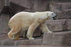 Polar bear walking on a rock ledge Stock Photos