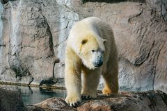 Polar bear walking on rocks royalty free stock photo