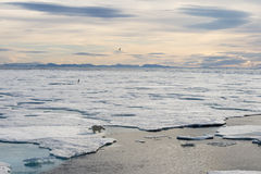 Polar bear walking on sea ice Stock Photos