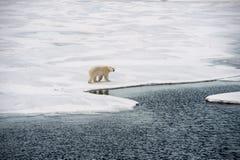 Polar bear walking on sea ice Royalty Free Stock Photo