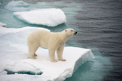 Polar bear walking on sea ice. In the Arctic Stock Images