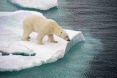Polar bear walking on sea ice Royalty Free Stock Photos