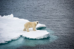 Polar bear walking on sea ice Royalty Free Stock Photos