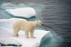 Polar bear walking on sea ice Royalty Free Stock Photography