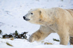 Polar Bear walking in snow Royalty Free Stock Image