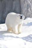 Polar bear. Walking on snow Stock Image