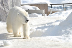 Polar bear. Walking on snow Stock Photography