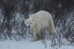 Polar Bear. A polar bear walking through a snow storm in CHurchill royalty free stock photos