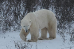 Polar Bear. A polar bear walking through a snow storm in CHurchill stock photo