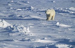 Polar Bear walking in snow Yukon Royalty Free Stock Photos