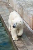 Polar bear walking. A polar bear walks at the reservoir Royalty Free Stock Photo