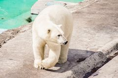 a polar bear walking in the zoo enclosure royalty free stock images