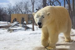 Polar bear walking in a zoo in winter stock photo