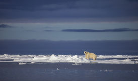 Polar Bear. A polar bear walks across the sea ice in the Svalbard Archipelago stock images