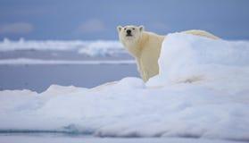 Polar Bear. A polar bear walks across the sea ice in the Svalbard Archipelago royalty free stock images