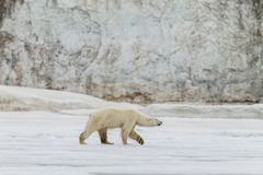 The polar bear walks along the ice sheet. On the shores of the Spitsbergen archipelago stock photography