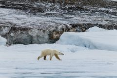 The polar bear walks along the ice sheet. On the shores of the Spitsbergen archipelago stock images