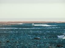 A polar bear walks along a slope. The nature of Wrangel Island, the landscape on Wrangel Island stock photography