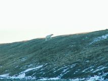 A polar bear walks along a slope. The nature of Wrangel Island, the landscape on Wrangel Island royalty free stock photos