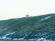 A polar bear walks along a slope royalty free stock images