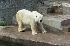 Polar bear walks in Saint-Petersburg zoo stock image