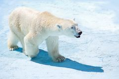 Polar bear in the snow. A polar bear walks through the snow stock photo