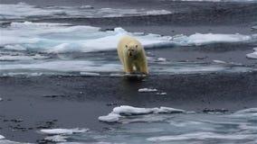 Polar bear wandering on frozen Ocean, Svalbard