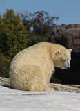 Polar Bear warming in the sun Royalty Free Stock Images
